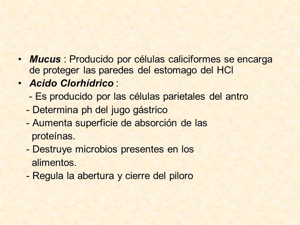 Mucus : Producido por células caliciformes se encarga de proteger las paredes del estomago del HCl