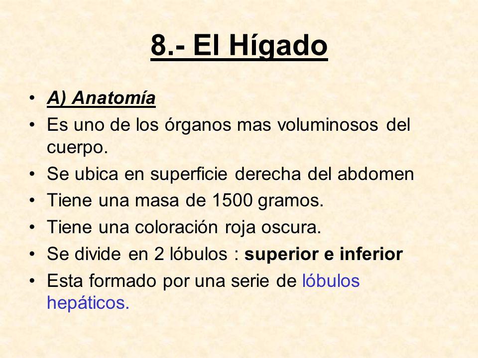 8.- El Hígado A) Anatomía. Es uno de los órganos mas voluminosos del cuerpo. Se ubica en superficie derecha del abdomen.