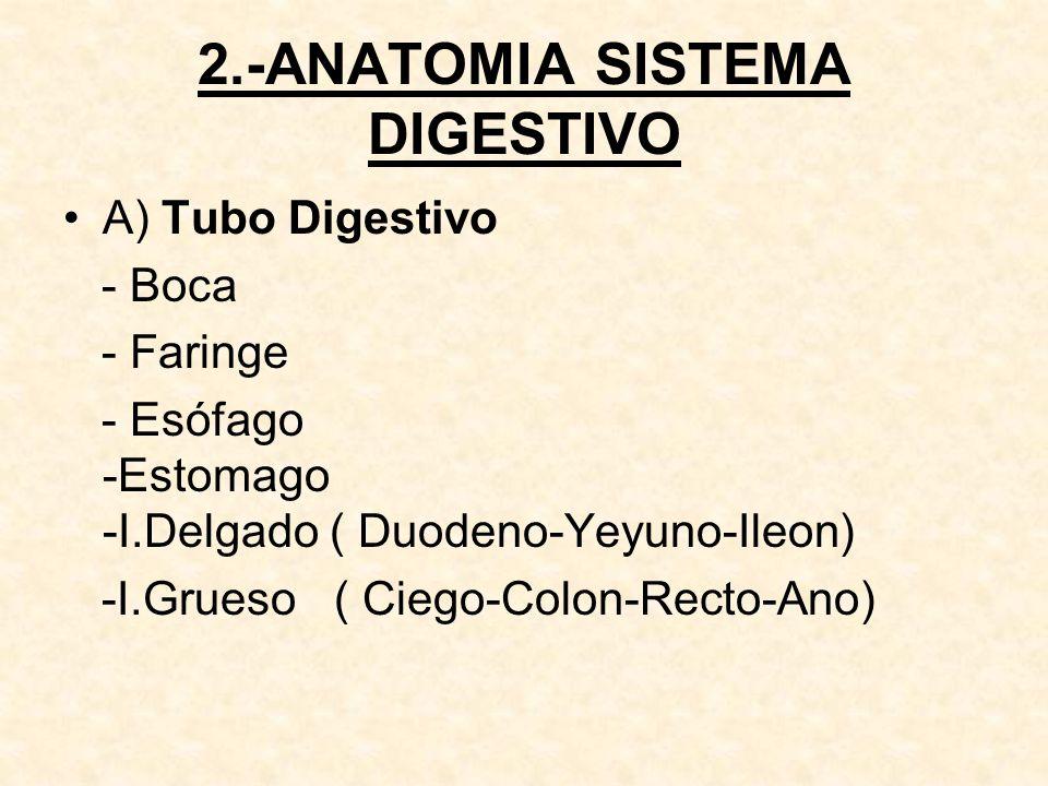 2.-ANATOMIA SISTEMA DIGESTIVO