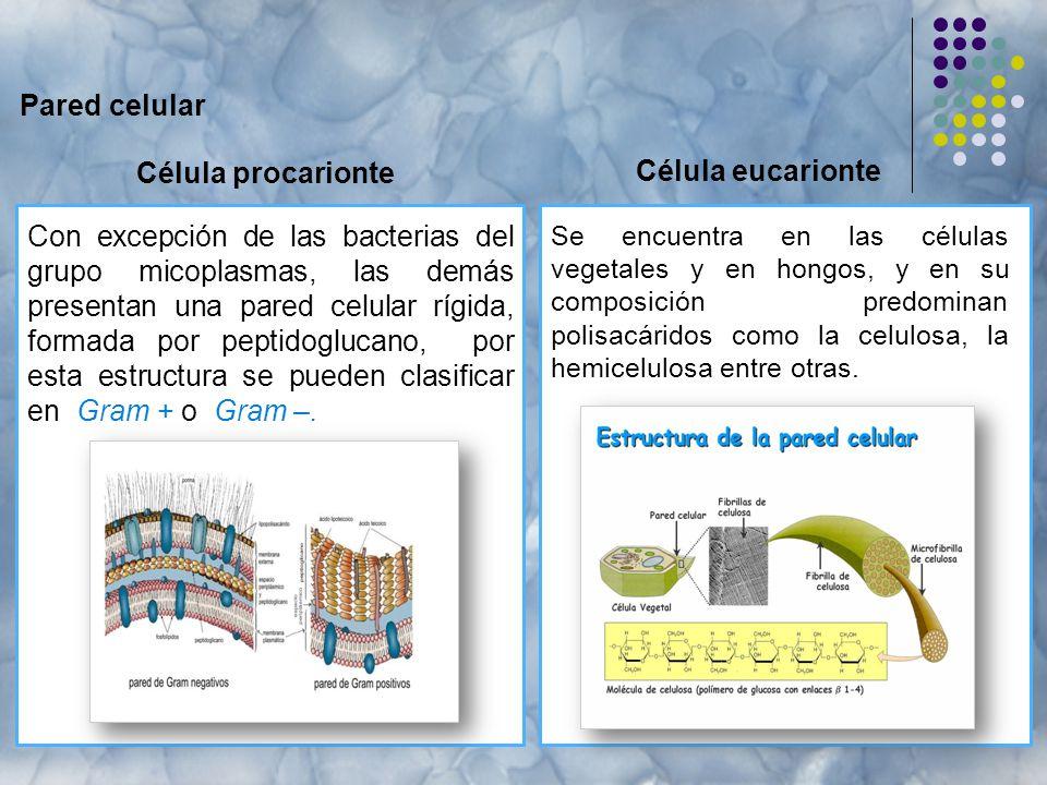 Pared celular Célula procarionte Célula eucarionte
