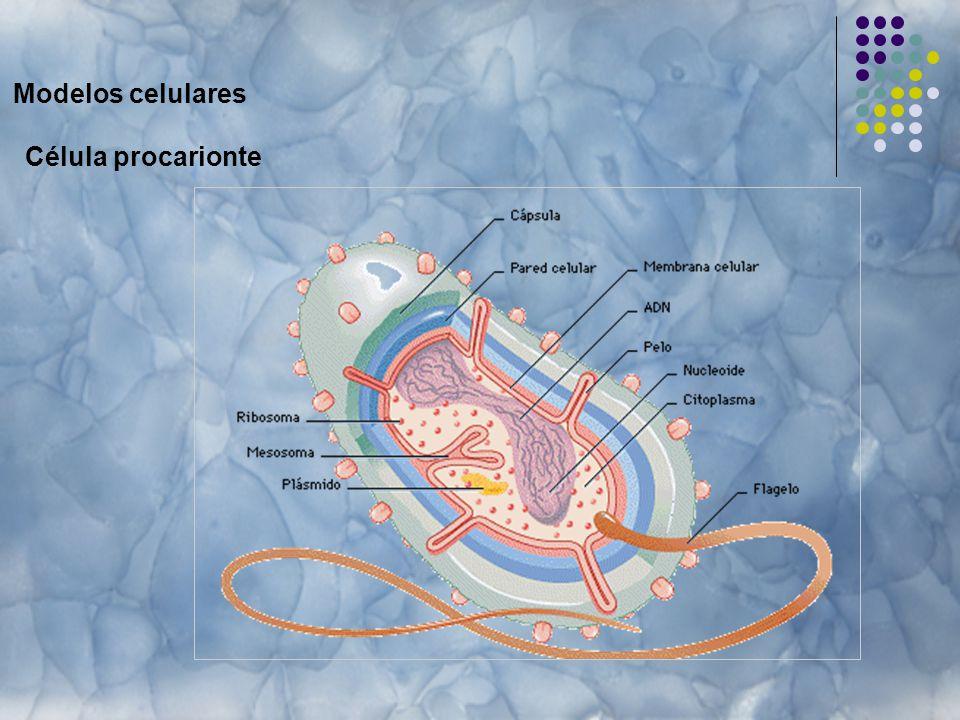 Modelos celulares Célula procarionte