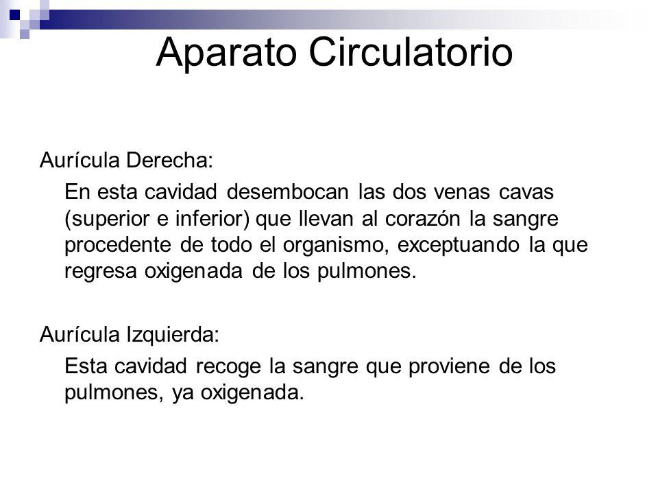 Aparato Circulatorio Aurícula Derecha: