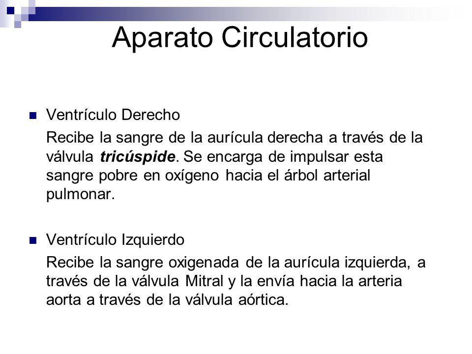 Aparato Circulatorio Ventrículo Derecho