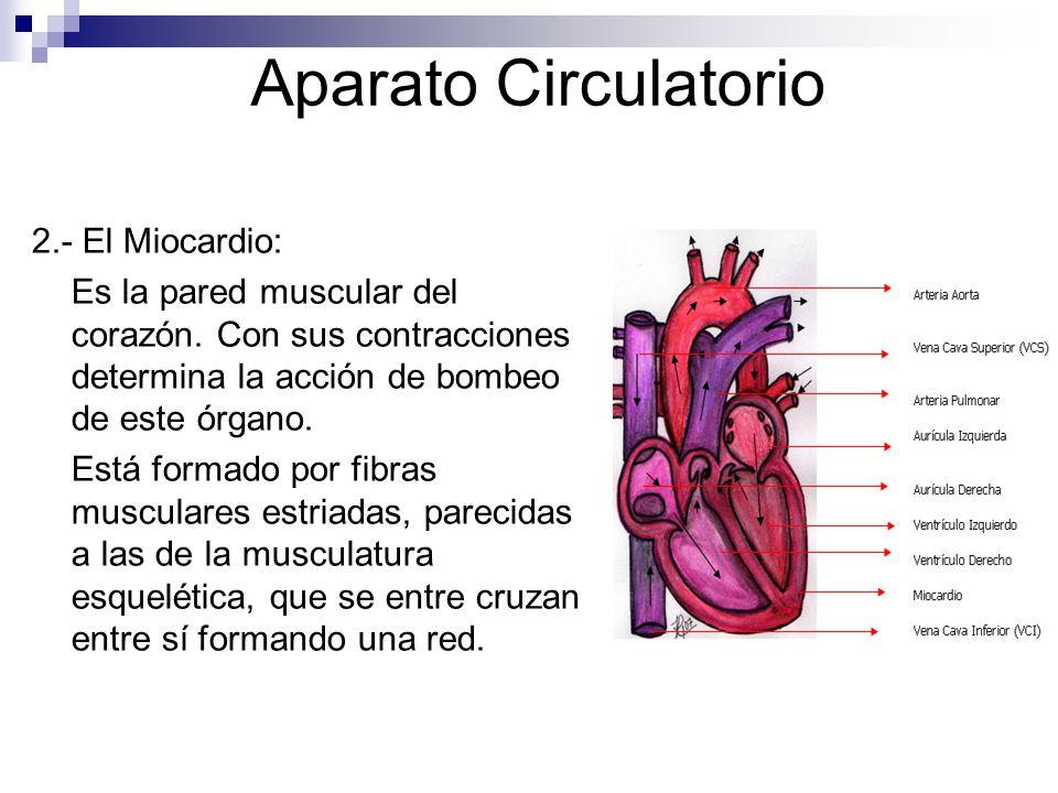 Aparato Circulatorio 2.- El Miocardio: