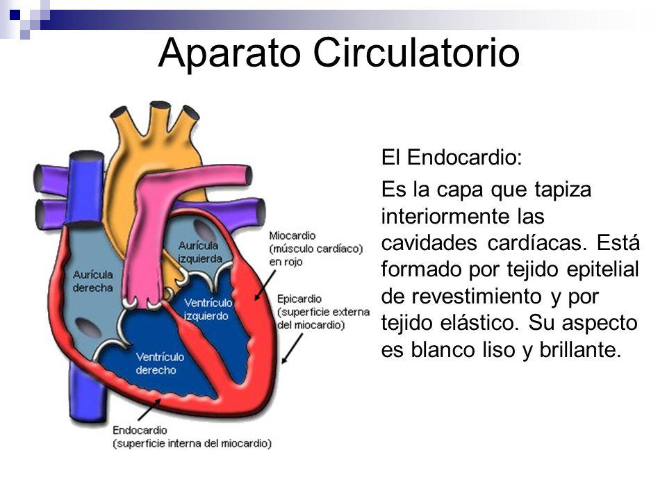 Aparato Circulatorio El Endocardio: