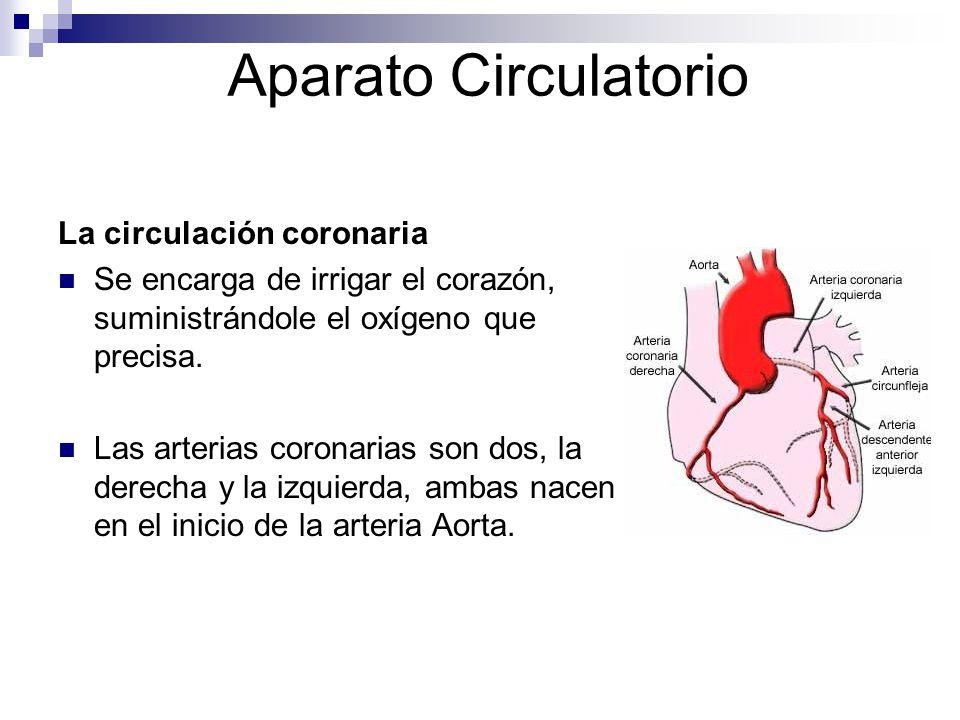 Aparato Circulatorio La circulación coronaria