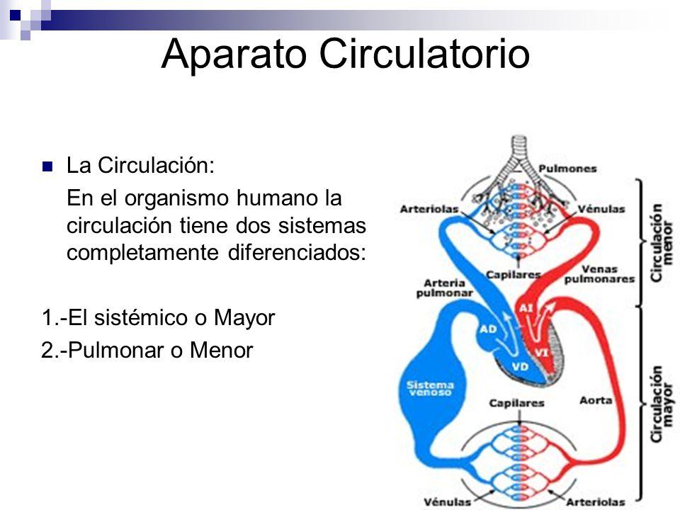 Aparato Circulatorio La Circulación:
