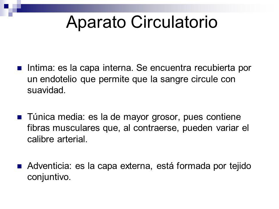 Aparato Circulatorio Intima: es la capa interna. Se encuentra recubierta por un endotelio que permite que la sangre circule con suavidad.