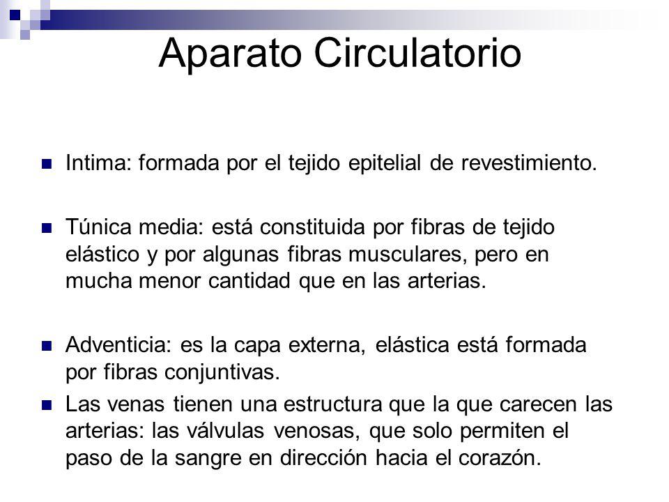 Aparato Circulatorio Intima: formada por el tejido epitelial de revestimiento.