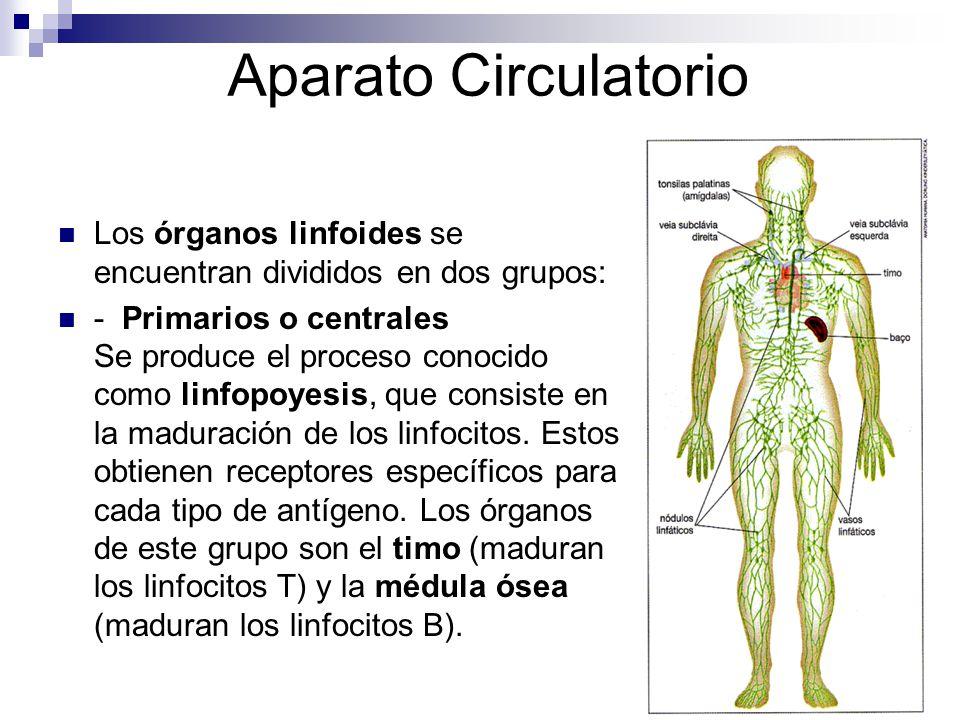 Aparato Circulatorio Los órganos linfoides se encuentran divididos en dos grupos: