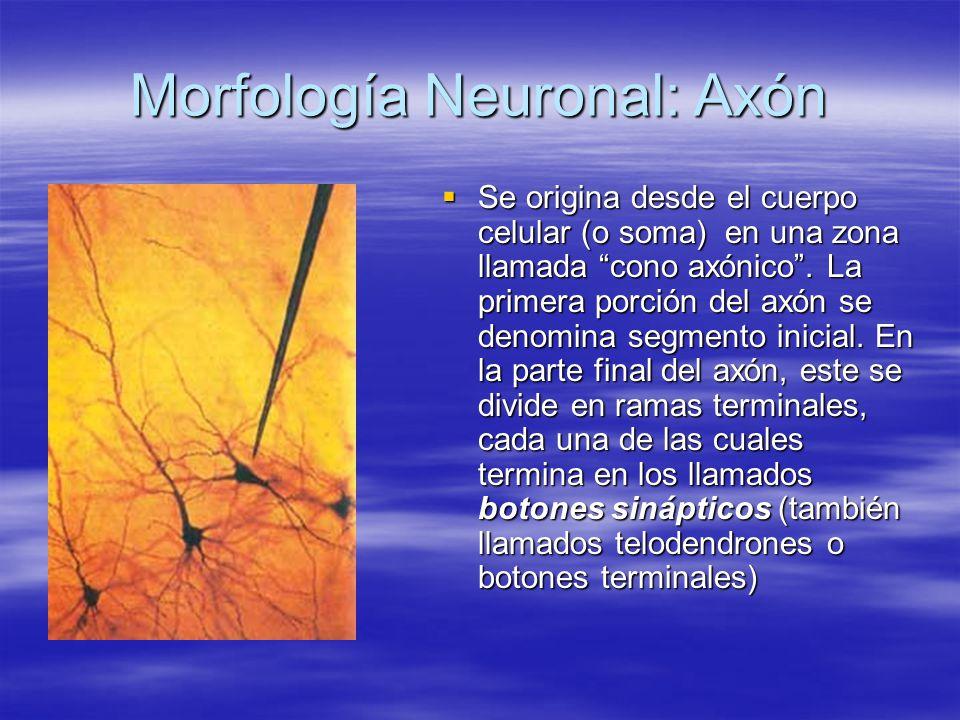 Morfología Neuronal: Axón