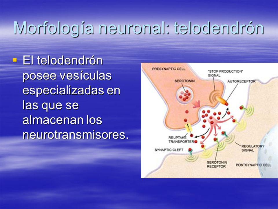 Morfología neuronal: telodendrón
