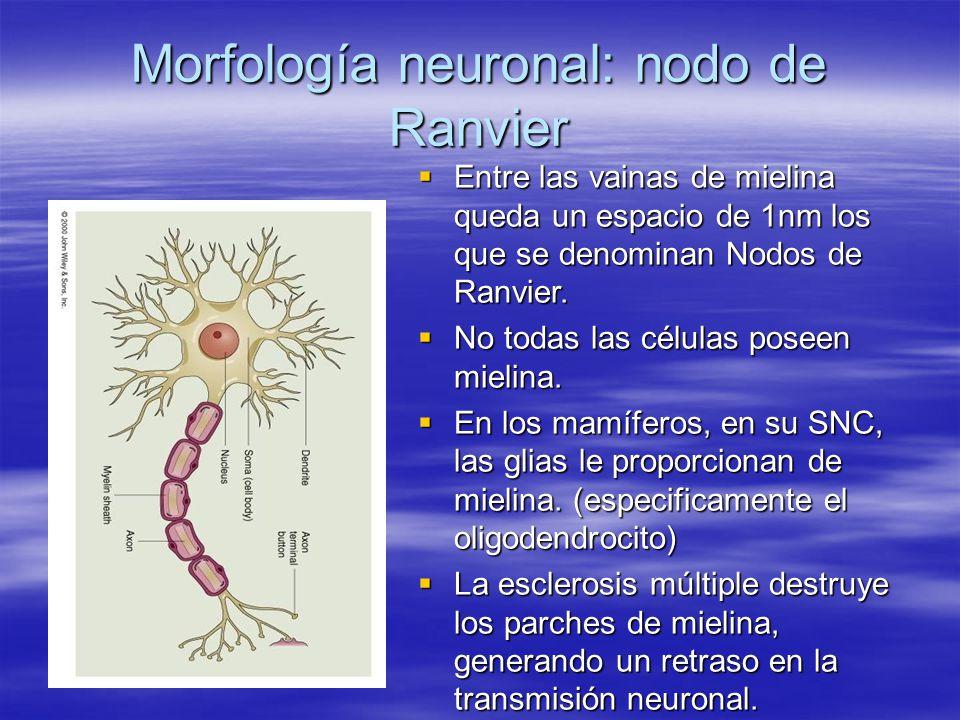 Morfología neuronal: nodo de Ranvier