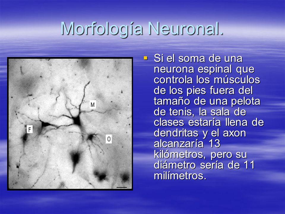 Morfología Neuronal.