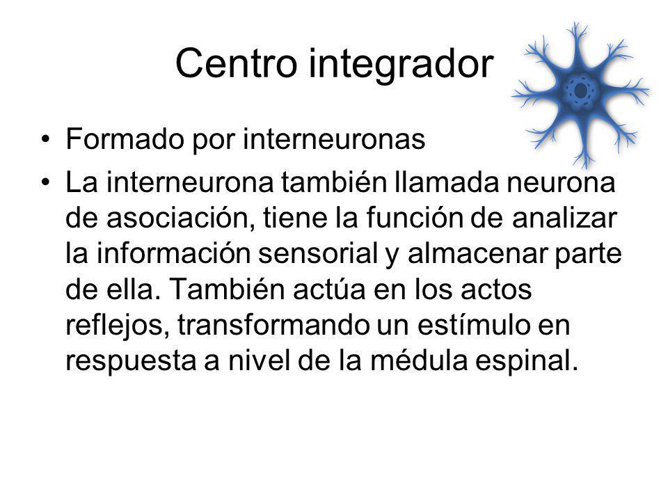 Centro integrador Formado por interneuronas