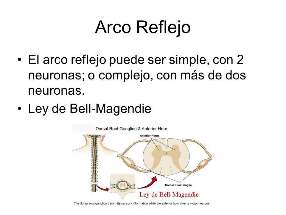 Arco Reflejo El arco reflejo puede ser simple, con 2 neuronas; o complejo, con más de dos neuronas.