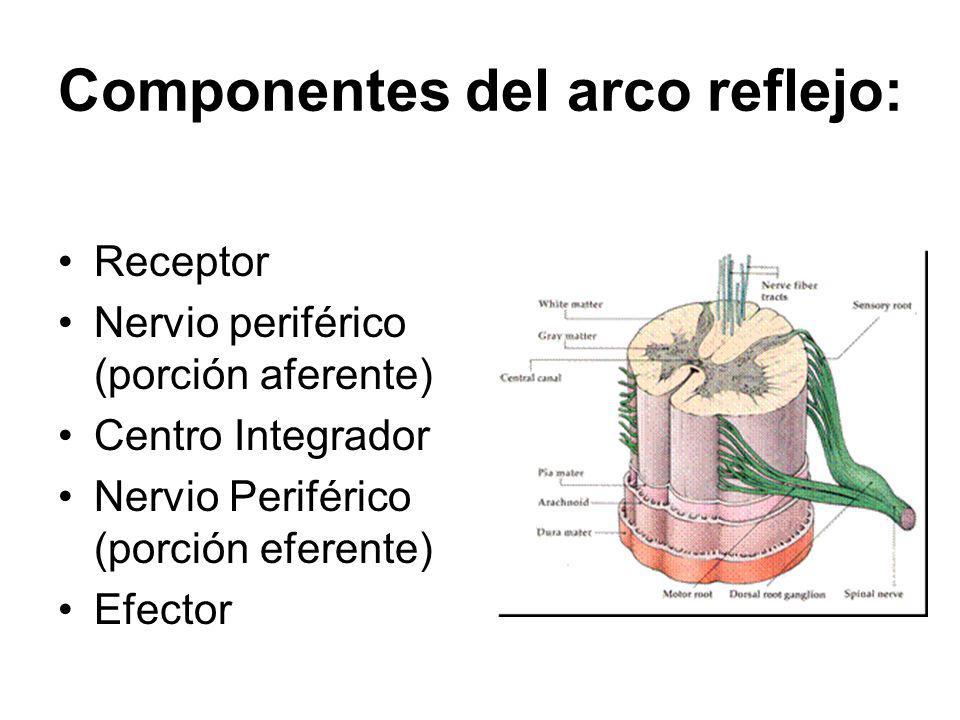 Componentes del arco reflejo: