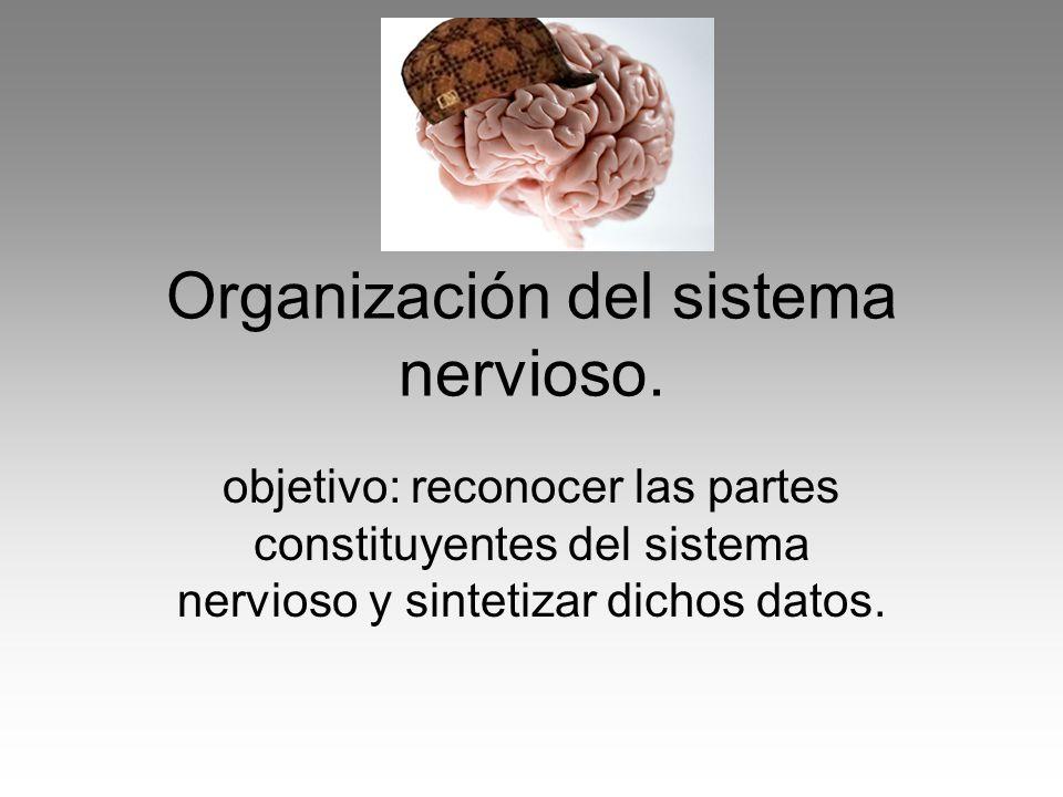 Organización del sistema nervioso.