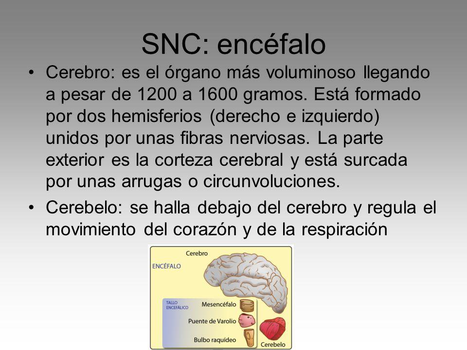 SNC: encéfalo