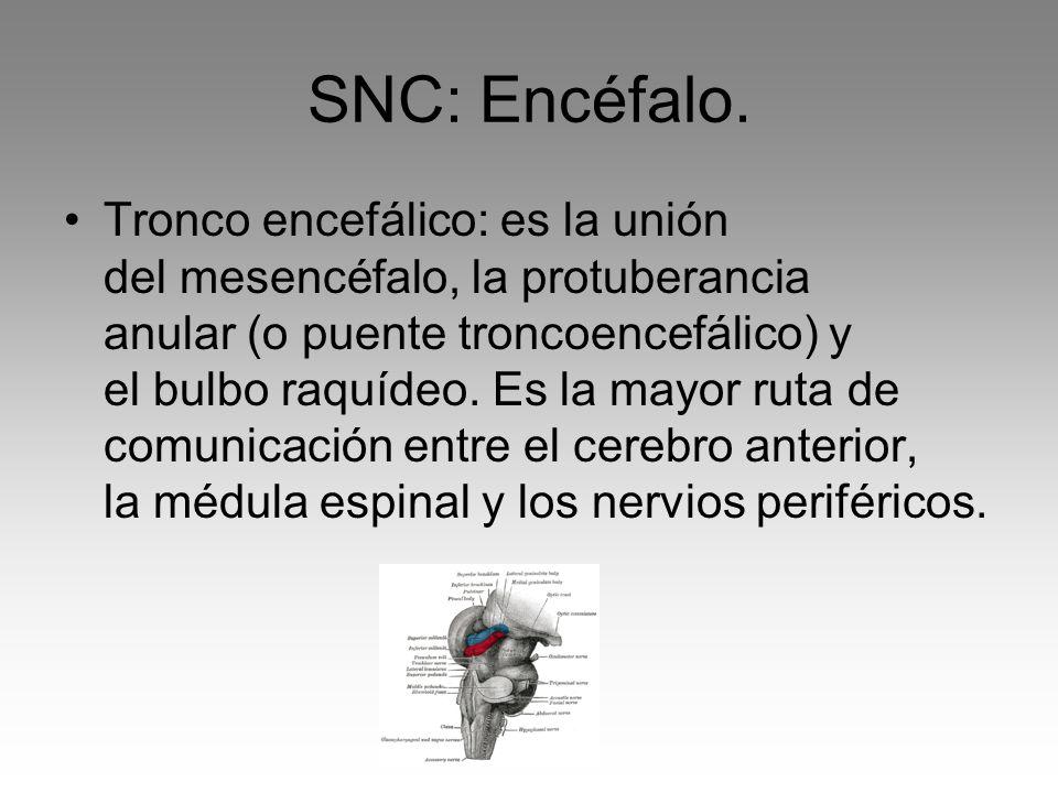 SNC: Encéfalo.
