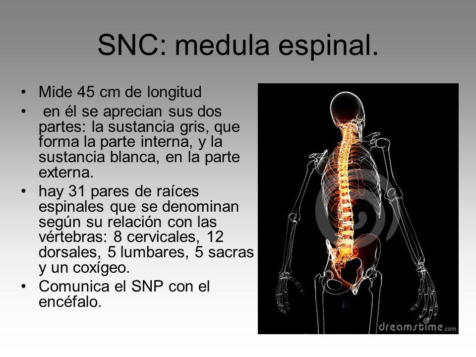 SNC: medula espinal. Mide 45 cm de longitud