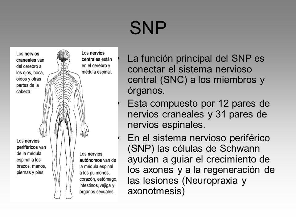 SNP La función principal del SNP es conectar el sistema nervioso central (SNC) a los miembros y órganos.