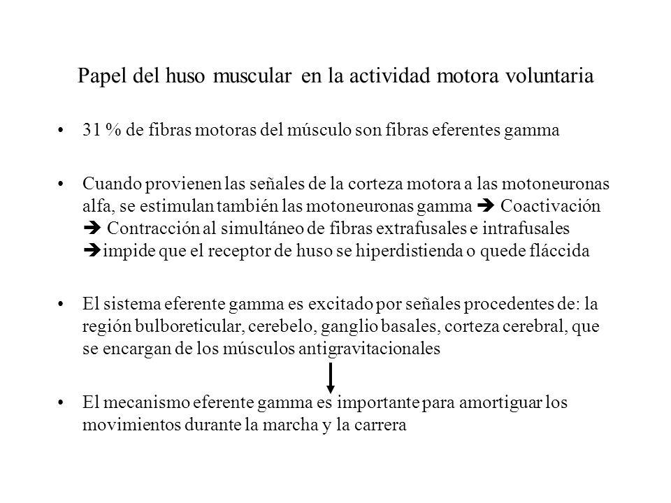 Papel del huso muscular en la actividad motora voluntaria