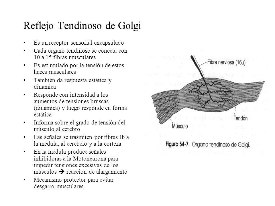 Reflejo Tendinoso de Golgi