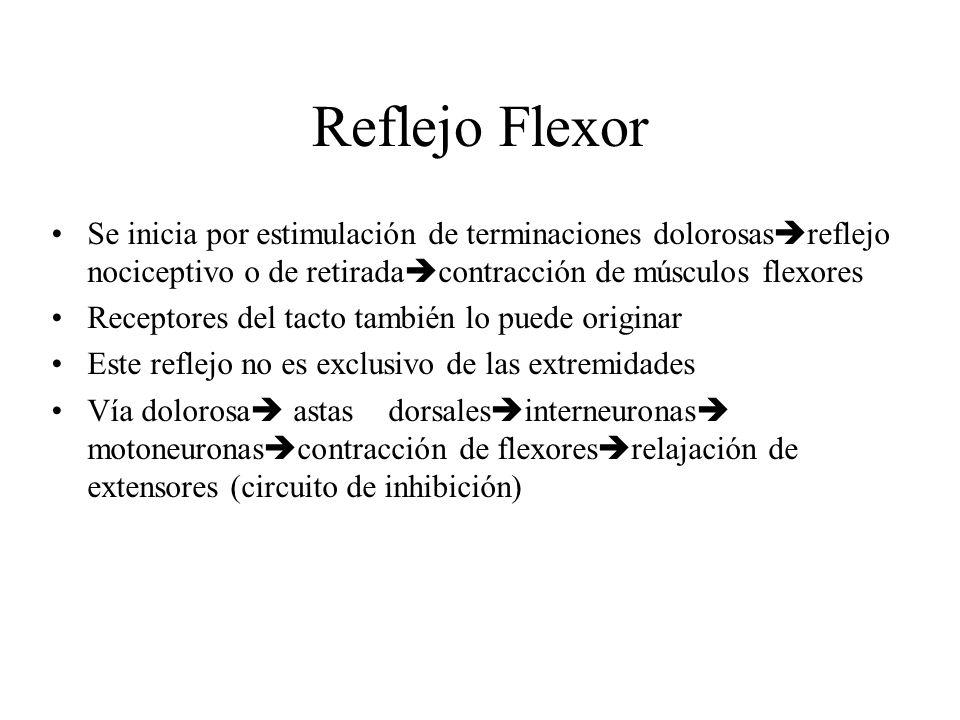 Reflejo Flexor Se inicia por estimulación de terminaciones dolorosasreflejo nociceptivo o de retiradacontracción de músculos flexores.