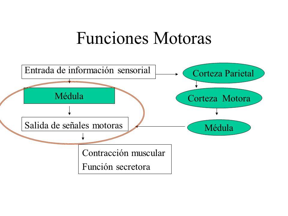 Funciones Motoras Entrada de información sensorial Corteza Parietal