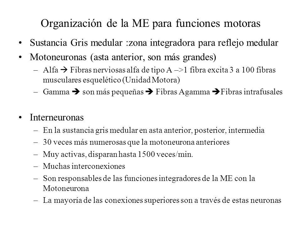 Organización de la ME para funciones motoras