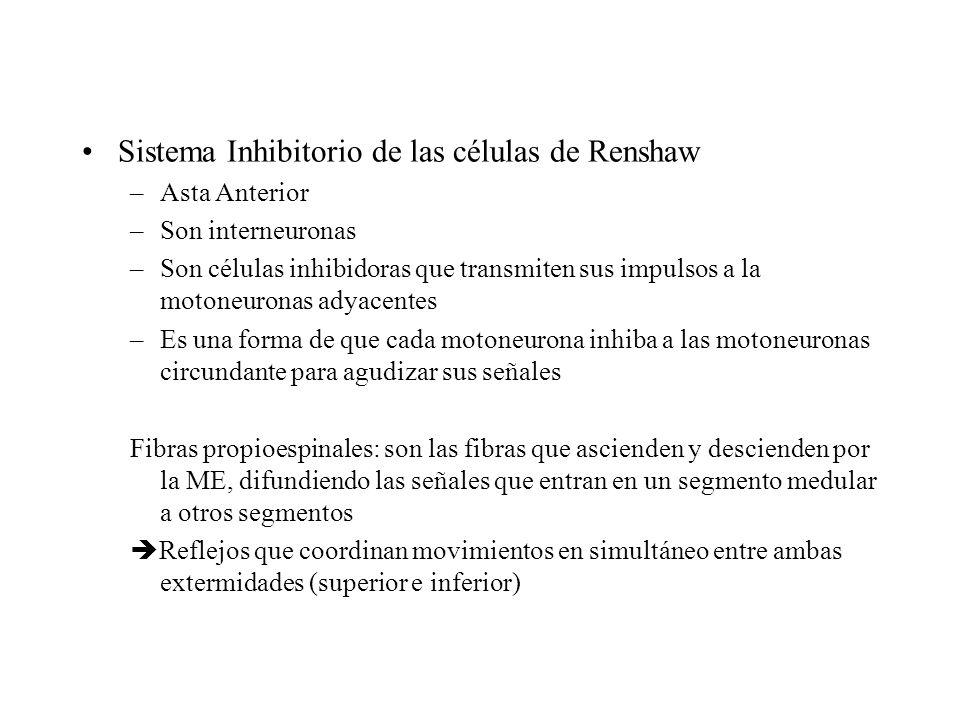 Sistema Inhibitorio de las células de Renshaw