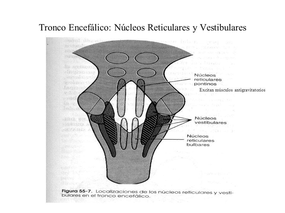 Tronco Encefálico: Núcleos Reticulares y Vestibulares