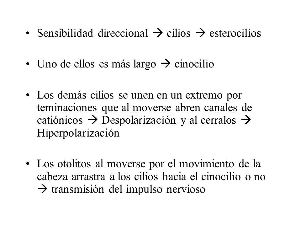 Sensibilidad direccional  cilios  esterocilios