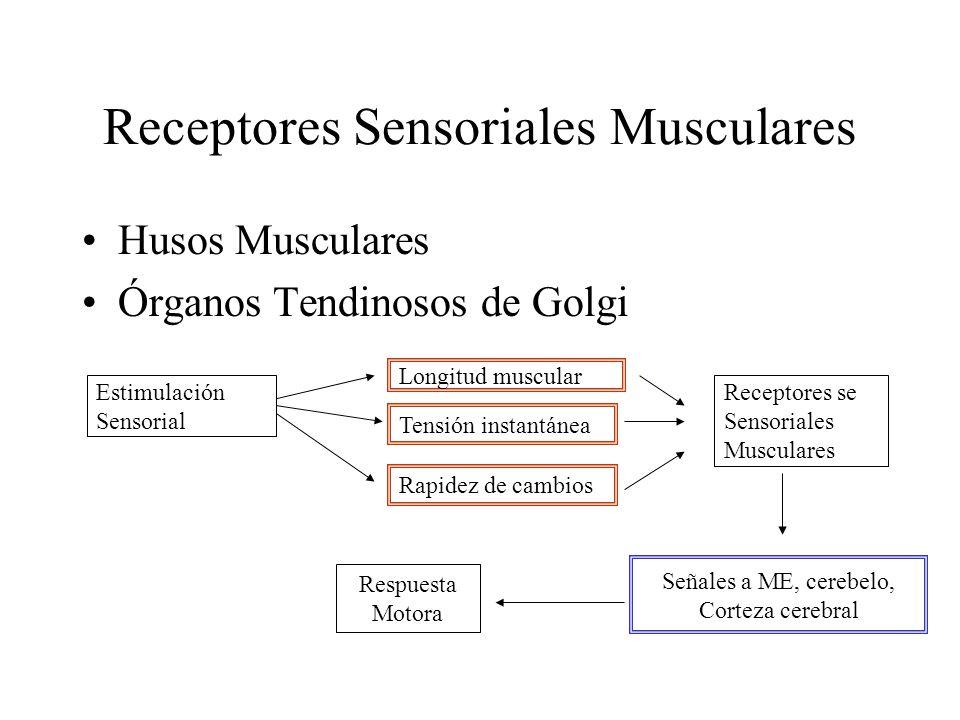Receptores Sensoriales Musculares