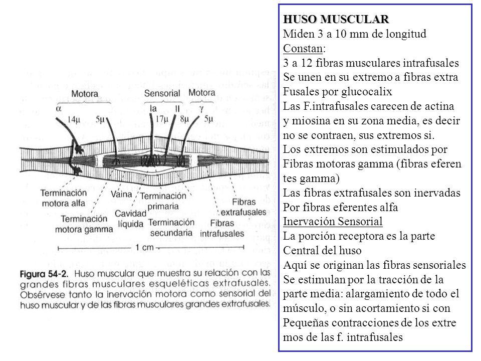 HUSO MUSCULAR Miden 3 a 10 mm de longitud. Constan: 3 a 12 fibras musculares intrafusales. Se unen en su extremo a fibras extra.