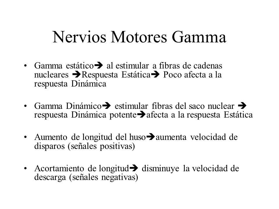 Nervios Motores Gamma Gamma estático al estimular a fibras de cadenas nucleares Respuesta Estática Poco afecta a la respuesta Dinámica.