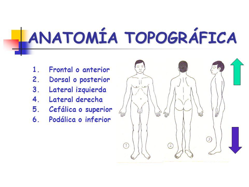 ANATOMÍA TOPOGRÁFICA Frontal o anterior Dorsal o posterior