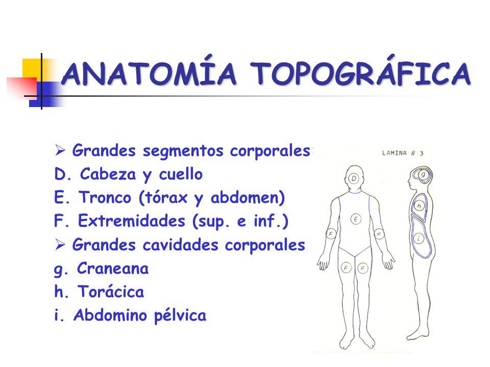ANATOMÍA TOPOGRÁFICA Grandes segmentos corporales: D. Cabeza y cuello