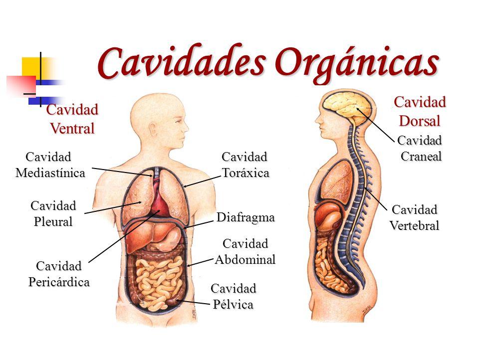 Cavidades Orgánicas Cavidad Cavidad Dorsal Ventral Cavidad Craneal