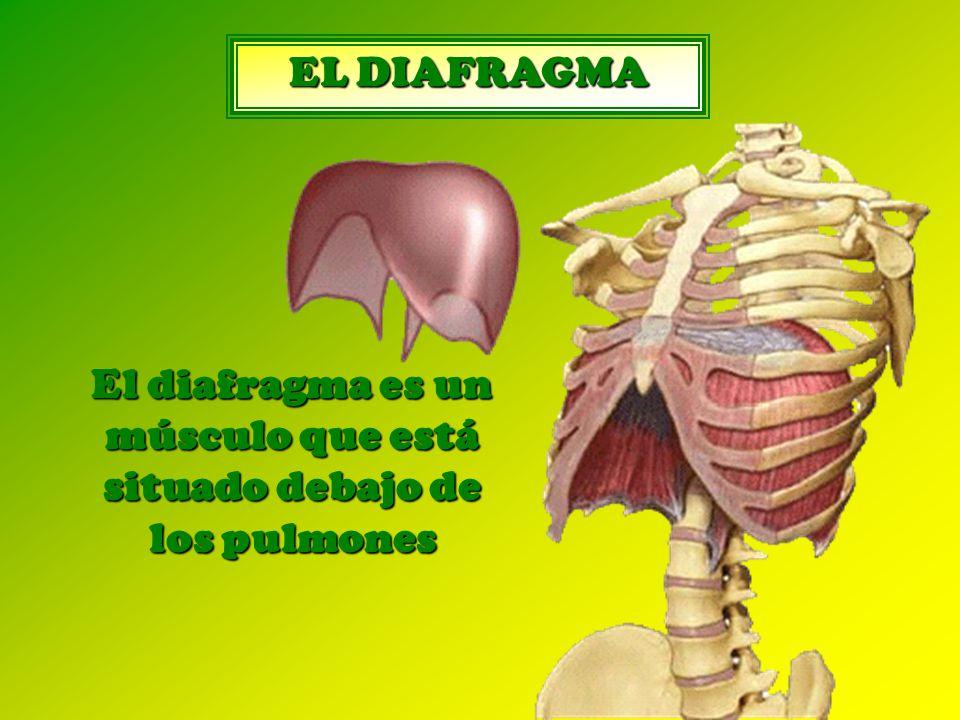 El diafragma es un músculo que está situado debajo de los pulmones
