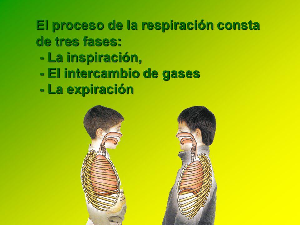 El proceso de la respiración consta de tres fases:
