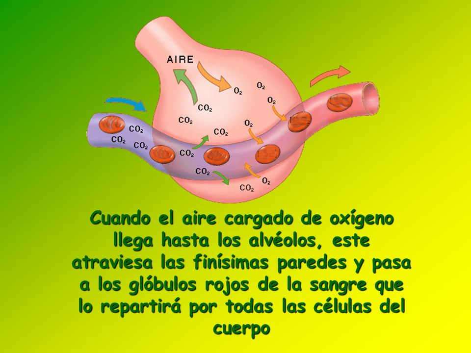 Cuando el aire cargado de oxígeno llega hasta los alvéolos, este atraviesa las finísimas paredes y pasa a los glóbulos rojos de la sangre que lo repartirá por todas las células del cuerpo