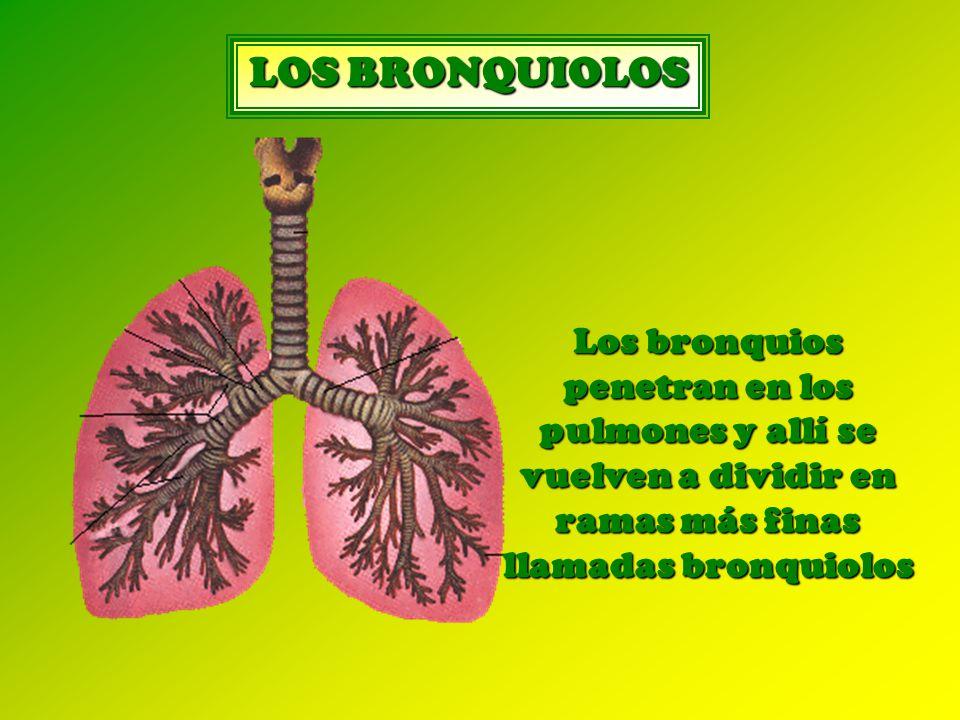 LOS BRONQUIOLOS Los bronquios penetran en los pulmones y allí se vuelven a dividir en ramas más finas llamadas bronquiolos.