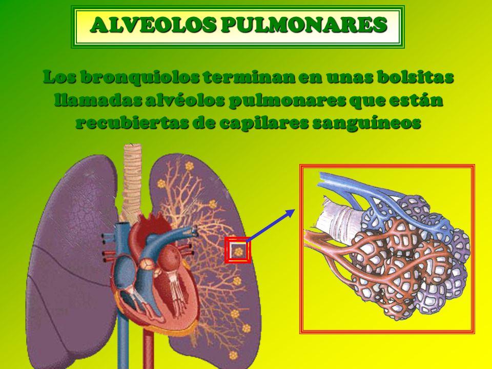 ALVEOLOS PULMONARES Los bronquiolos terminan en unas bolsitas llamadas alvéolos pulmonares que están recubiertas de capilares sanguíneos.