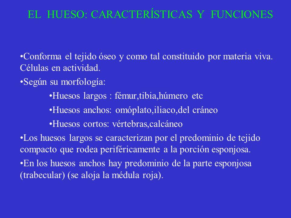 EL HUESO: CARACTERÍSTICAS Y FUNCIONES