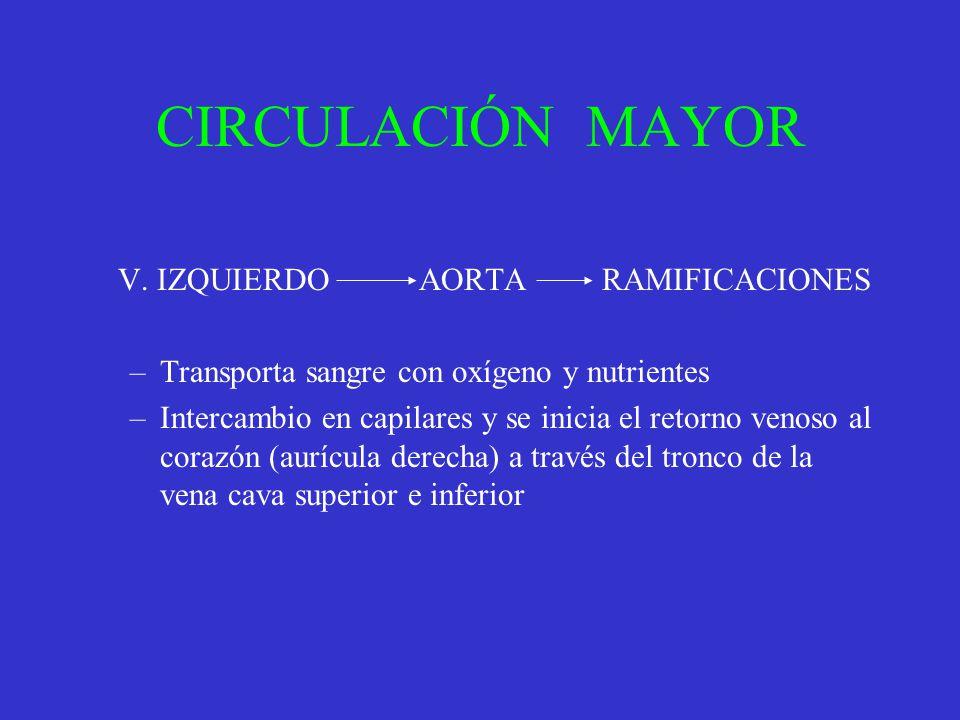 CIRCULACIÓN MAYOR V. IZQUIERDO AORTA RAMIFICACIONES
