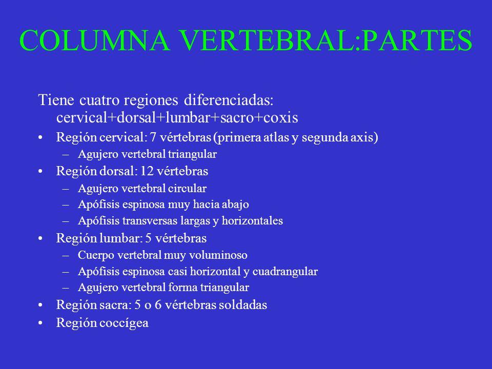 COLUMNA VERTEBRAL:PARTES