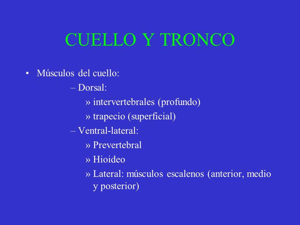 CUELLO Y TRONCO Músculos del cuello: Dorsal: