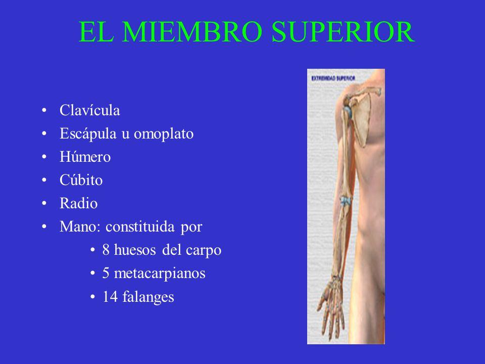 EL MIEMBRO SUPERIOR Clavícula Escápula u omoplato Húmero Cúbito Radio